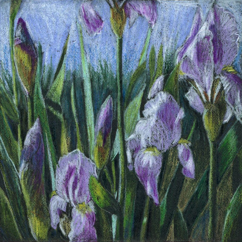 coloured pencil - iris